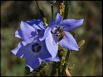 Klicken Sie auf die Grafik für eine größere Ansicht  Name:40-Biene.jpg Hits:19 Größe:41,9 KB ID:10549